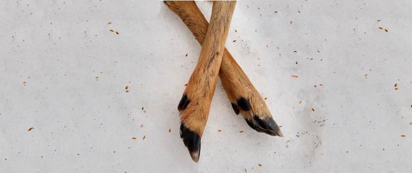 Kauriin jalat